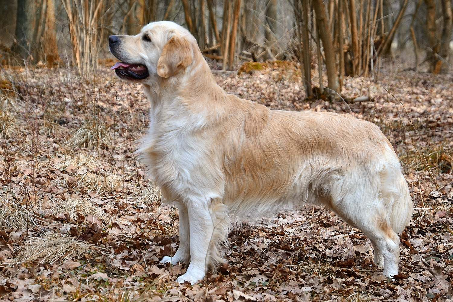 The Golden Retriever is a large-sized breed of dog bred as gun dogs to retrieve shot waterfowl