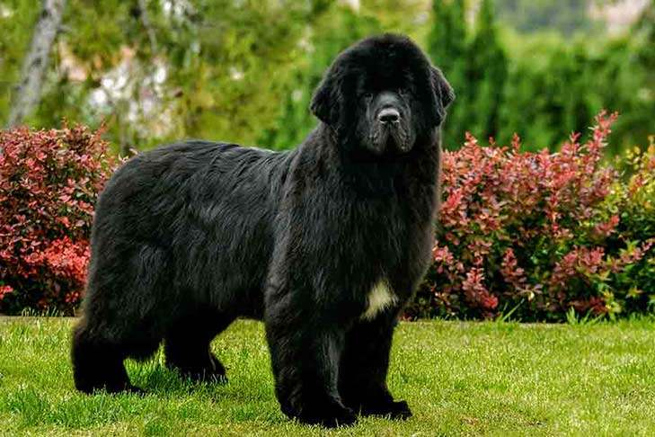 The Newfoundland dog is a large working dog